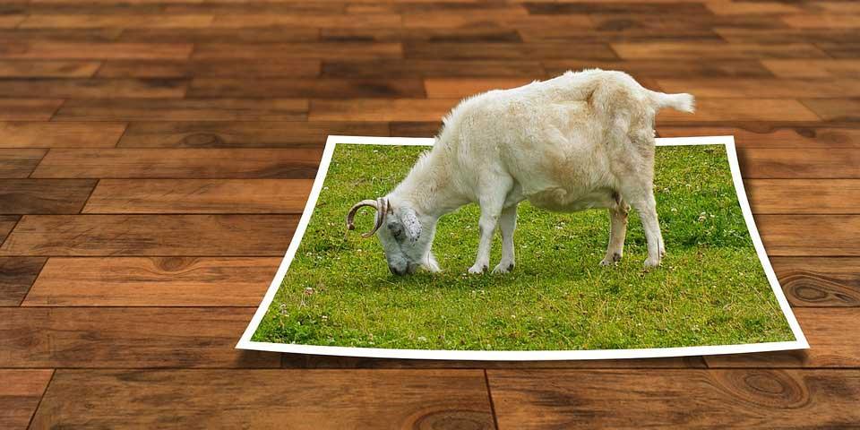 עז אוכלת עשב מתמונה שזרוקה על הריצפה